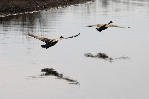 two-geese-flying-low-over-water