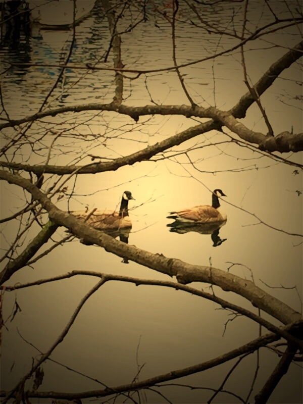 """Two geese at peace,"" featured image for ""Let the Rains Come"" by Char Sundust"